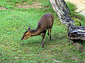 Muntiacus reevesi Zoo Praha 2011-1.jpg