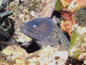 Mediterranean moray - Image: Murenahelena