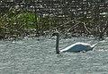 Mute Swan (460891045).jpg