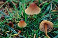 Mycena spp. (30088769685).jpg