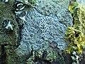 Myriolecis albescens 702555.jpg