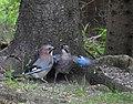 Nötskrika Eurasian Jay (20350786055).jpg
