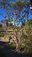 N20171228-0008—Adenostoma sparsifolium—RPBG (24594107697).jpg