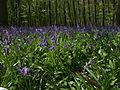 NSG Kellenberger Kamp Hasenglöckchen (Hyacinthoides) 3 DE-NW.jpg