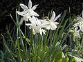 Narcissus Thalia 02.jpg