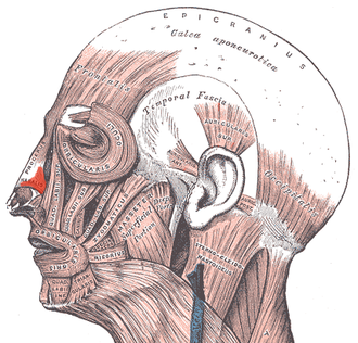 Nasalis muscle - Muscles of the head, face, and neck. (Nasalis labeled at center left.)