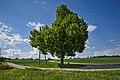 Naturdenkmal Linde in den Schloßwiesen, Nebringer Straße, Jettingen-Sindlingen, Kennung 81150530009, von Südwest.jpg