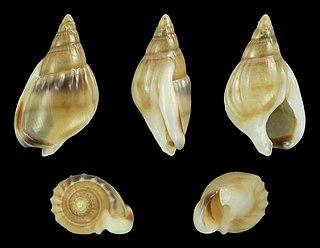 <i>Nassarius glabratus</i> Species of gastropod