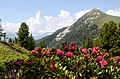 Near Belle Plagne 2050 m you can enjoy Alp roses and Mont St Jacques 2407 m - panoramio.jpg