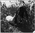 Near Eloy, Pinal County, Arizona. Twelve-year-old boy picking cotton in the field. - NARA - 522236.jpg
