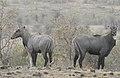 Neelgai Boselaphus tragocamelus by Dr. Raju Kasambe DSCN7833 (11).jpg