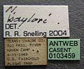 Neivamyrmex baylori casent0103459 label 1.jpg
