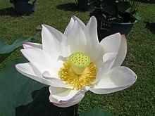 Plantas Sagradas En El Budismo Wikipedia La Enciclopedia Libre