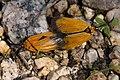 Neoalbertia constans - Flickr - aspidoscelis.jpg
