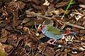 Neochmia temporalis -Australia Zoo, Beerwah, Queensland, Australia-8a.jpg