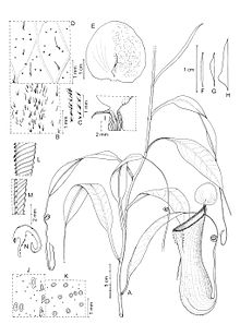 Nepenthes kurata botanical illustration.jpg