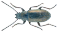 Nephodinus metallescens (Kuester, 1846) (10113622594).png