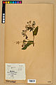 Neuchâtel Herbarium - Borago officinalis - NEU000020578.jpg