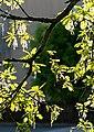 New oak leaves with male flowers 1.jpg