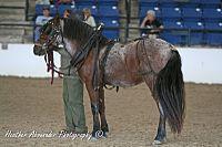 Newfoundland Pony.jpg