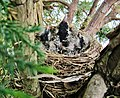 Nice brood in a wonderful american robin's nest. - Quel beau nid du merle et de son adorable couvée. - panoramio.jpg
