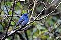 Nilgiri flycatcher -male.jpg