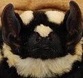 Niumbaha superba nostril shape and orientation - ZooKeys-285-089-g003-top-right.jpeg