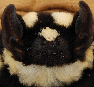 Pied bat species of bat