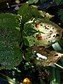 Noordwijk - Leliehaantje (Lilioceris lilii) v2.jpg