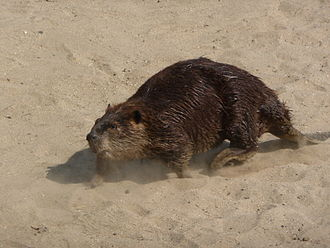 Beaver in the Sierra Nevada - North American beaver on the bank of the Lower Kern River