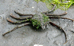 Northern Kelp Crab.jpg