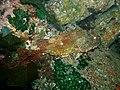 Northern Scorpionfish - Parascorpaena picta - Poor Knights Islands.jpg