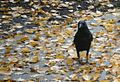 Northwestern Crow (Corvus caurinus) autumn colours 2.jpg