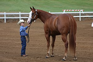 Horse showmanship - A competitor showing his stock horse in a 4-H style showmanship class.