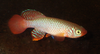 Nothobranchius flammicomantis.png