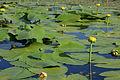 Nuphar variegatum 3 PP.jpg