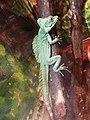 Nyíregyháza Zoo, Basiliscus plumifrons.jpg