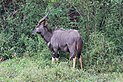 Nyala in Hluhluwe–Imfolozi Park 02.jpg
