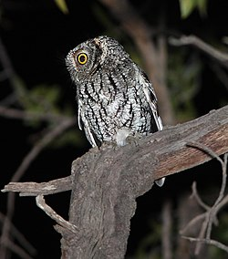 OWL, WHISKERED SCREECH (4-5-12) harshaw rd, patagonia, scc, az -03 (7049707499).jpg