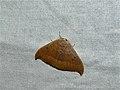 Oak Hook-tip (Watsonalla binaria) (8330121860).jpg