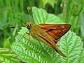 Ochlodes sylvanus (Hesperiidae) (Large Skipper) - (imago), Elst (Gld), the Netherlands - 2.jpg