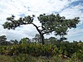 Oddly Shaped Pine Tree - panoramio.jpg