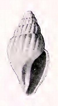 Oenopota excurvata 001.jpg