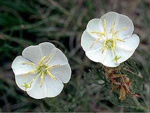 Oenothera coronopifolia - Image: Oenothera coronopifolia
