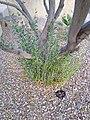 Olea europaea (base of tree).jpg