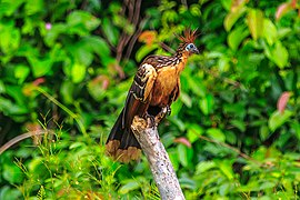 On the Rio Tambopata…the Hoatzin, the world's weirdest bird (8445839364).jpg