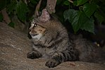 One of the La Plage cats, St Maarten, Oct 2014 (15762812511).jpg