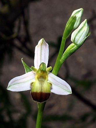 Ophrys apifera - Ophrys apifera var. bicolor