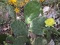 Opuntia sanguinocula - 2.jpg