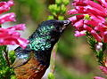 Orange-breasted Sunbird, Anthobaphes violacea (8419589496).jpg